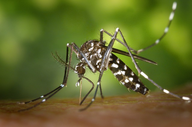 Asian Tiger Mosquito